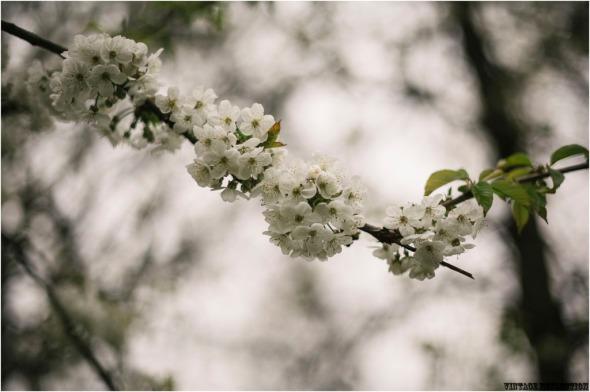 blossom_030